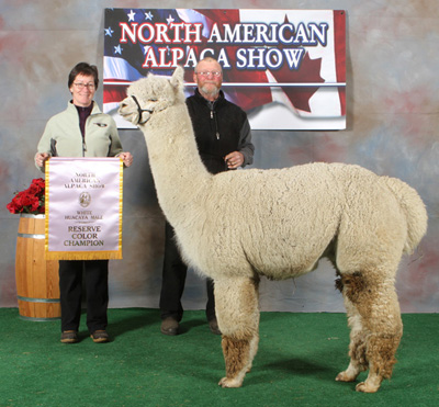 Champion alpaca from Snowshoe farm, Peacham, Vermont
